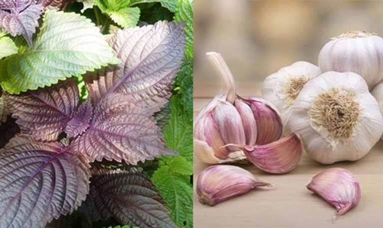 Tỏi và lá tía tô là những nguyên liệu dễ tìm nhưng mang công dụng rất tốt trong việc trị mụn thịt