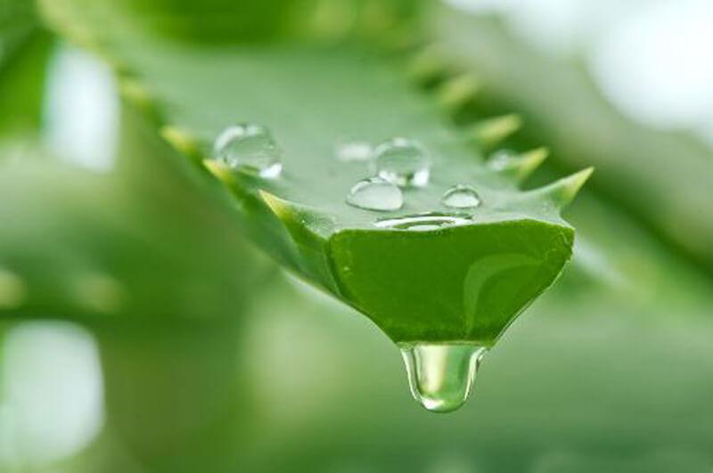 Nha đam là loại nguyên liệu được nhiều người sử dụng để làm đẹp hiệu quả