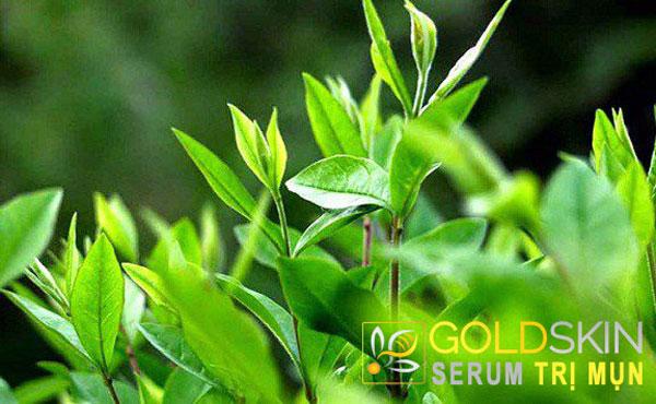 Chiết xuất trà xanh có tác dụng trong việc chống oxy hóa và chống viêm
