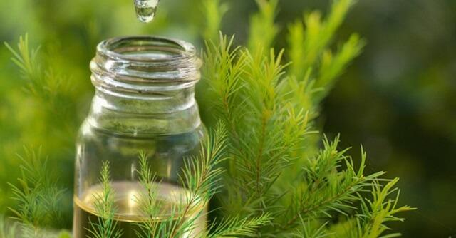 Tinh dầu tràm trà có công dụng kháng viêm sưng, kháng khuẩn