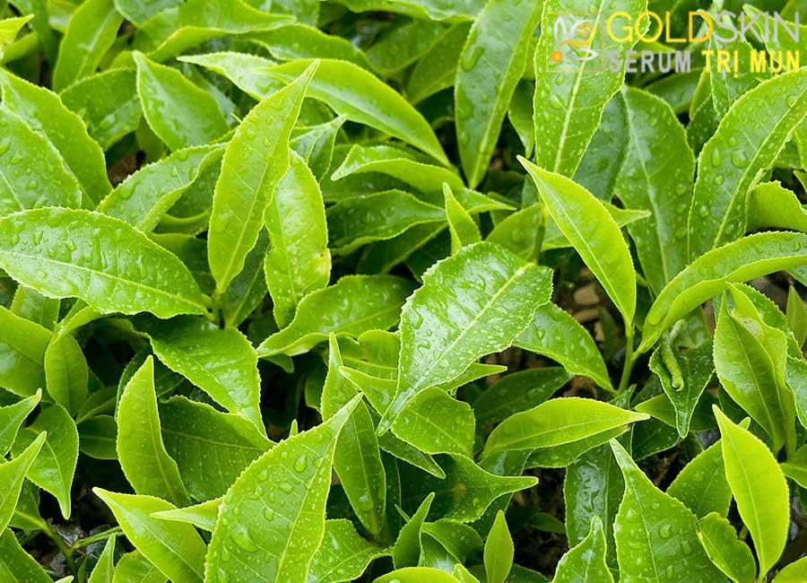 Lá trà xanh giúp giảm viêm mụn cực tốt